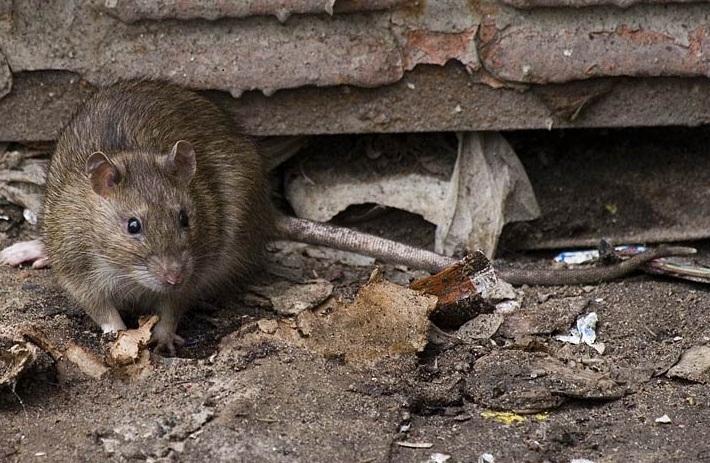 Крыса - самое совершенное и опасное животное. - фото 2