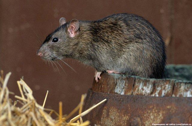 Крыса - самое совершенное и опасное животное. - фото 1