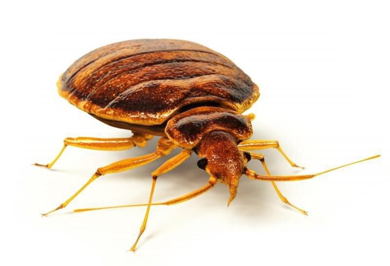 Уничтожение микроорганизмов, плесени, насекомых, грызунов и запахов (6 в 1) - фото Клоп постельный.jpg