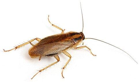 Уничтожение микроорганизмов, плесени, насекомых, грызунов и запахов (6 в 1) - фото Таракан кухонный.jpg