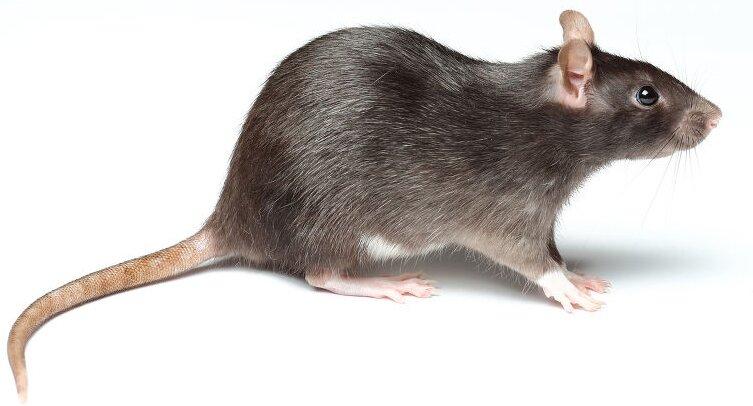 Дератизация озоном (уничтожение крыс и мышей)