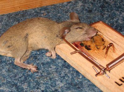 Современные средства и методы борьбы с грызунами - фото Мышь в мышеловке